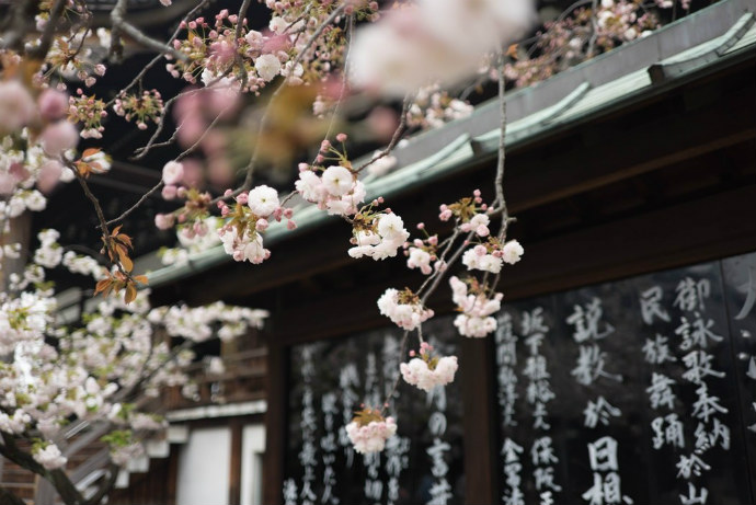Participate in the cherry blossom season in spring